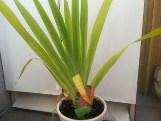 Angínovník čínský: krásná rostlina, jež pomůže s angínou