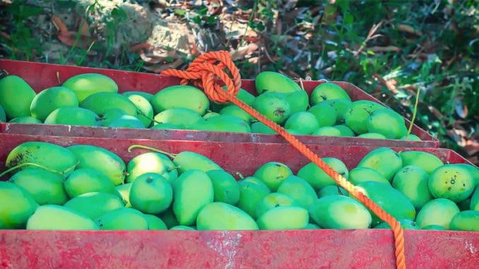 Čerstvé mango na Filipínách