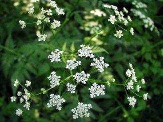 Rostlina, jež lidem pomáhá s psychickými potížemi