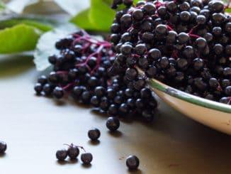 Bez černý: dříve univerzální léčivka, dnes důležitá kuchyňská ingredience
