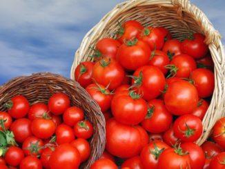 Jak správně zalévat rajčata a zbavit se plísní a chorob