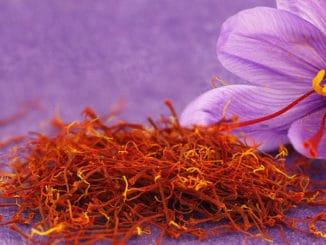 Šafrán jako vzácné léčivé koření. K získání 1 kg je potřeba 80 až 200 tisíc květů