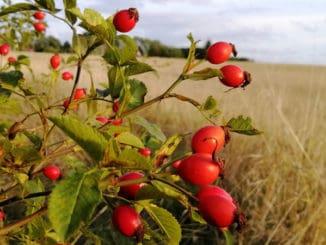 Šípkové plody: vitamínový zázrak, který si je možné nasušit na celý rok