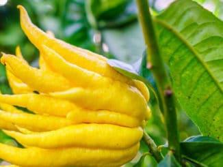 Buddhova ruka: ovoce, o němž většina Čechů nikdy neslyšela. Přesto je chutné, zdravé a voňavé