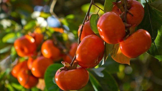 """Kaki: """"pokrm bohů"""", který je ideální pro chladné měsíce. Ochutnejte zdravé vánoční ovoce"""