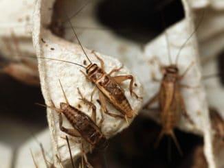 Cvrččí mouka obsahuje téměř 3× více bílkovin než hovězí