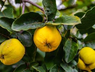 Kdoule: Zapomenuté ovoce, jež bylo zdrojem vitamínů pro naše předky