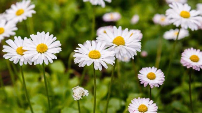 Sedmikráska: posel jara i zdravá rostlinka do kuchyně