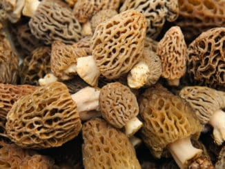 Morel Mushroom Background