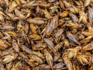 Fried insects as a snack