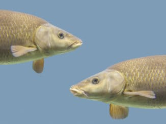 Common barbel, Barbus barbus, is a species of freshwater fish