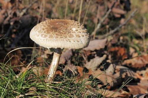 Bedla vysoká: výtečná houba, jejíž záměna ale může být smrtelně nebezpečná