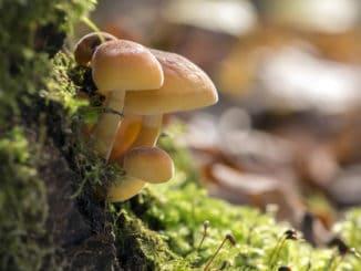 Penízovka sametonohá (enoki) je jednou z nejchutnějších hub. Navíc roste i v zimě
