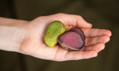 Kolový ořech se používal při výrobě koly. I dnes může sloužit jako zdroj energie