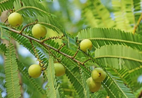 Amalaki je trpké ovoce. Jde ale zřejmě o nejbohatší zdroj vitamínu C vůbec