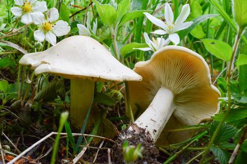 Čirůvka májovka: výborná houba, která začíná růst právě nyní