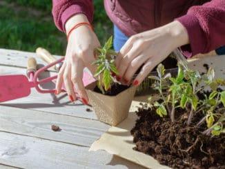 Rajčata zvládnete vypěstovat i doma na balkoně. Prozradíme vám, jak na to