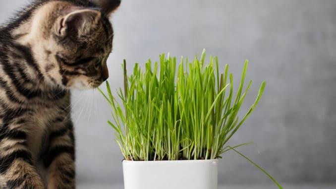 Kočičí tráva: Vypěstujte si doma rostlinu, kterou si váš mazlíček zamiluje. Lehčí to už být nemůže