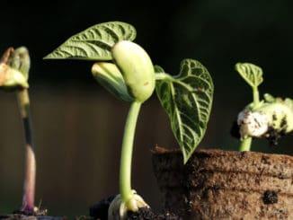 Milovníci fazolí, pozor: Takhle snadno si je můžete vypěstovat sami doma