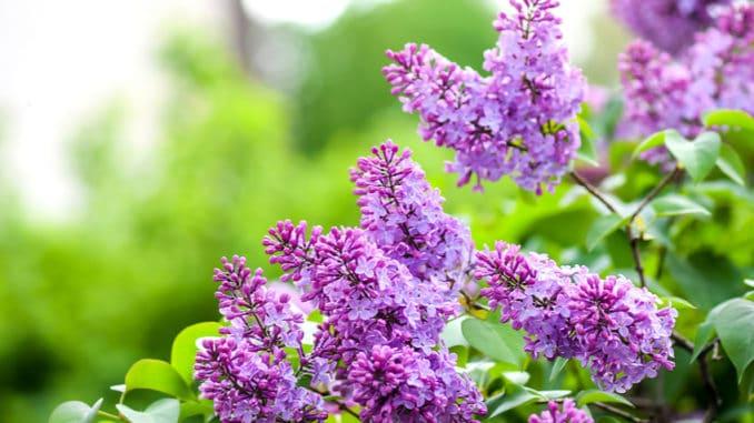 Zasaďte si na zahradě vlastní šeřík. Barevné keře vám zpříjemní nejen jaro