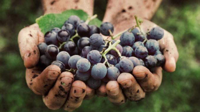 Jak pěstovat vinnou révu a udělat si vlastní víno