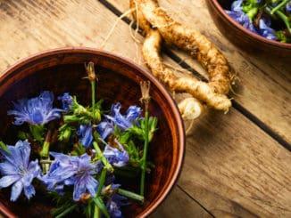 Čekanka má mnoho využití. Květy léčí oči, kořen pomáhá vnitřním orgánům