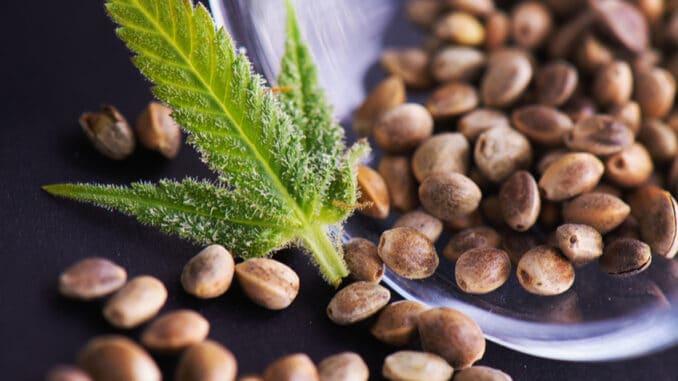 Posilují imunitu, srdce i cévy. Co dalšího dokážou konopná semínka?